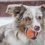 dog biting red ball under snow